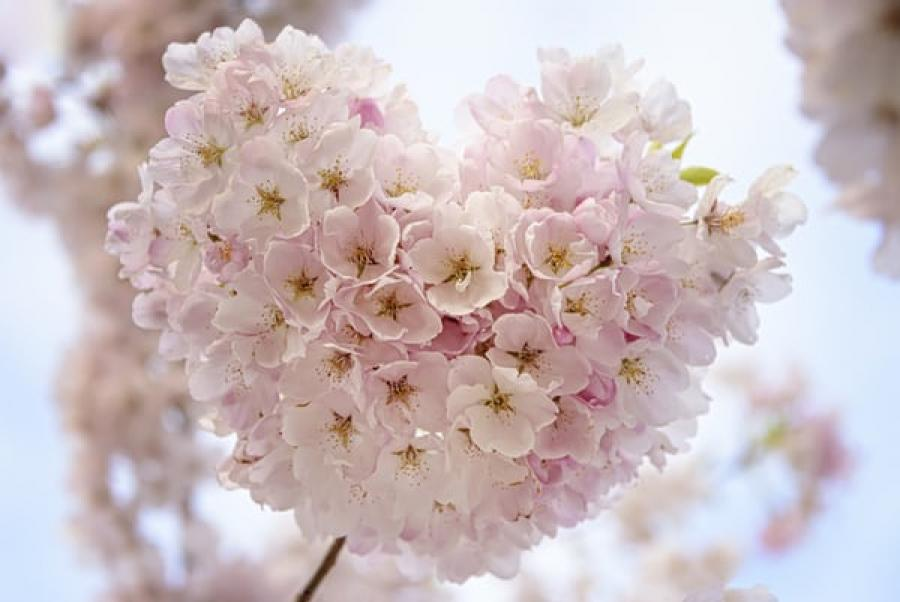 Kirsebærblomster der danner et hjerte